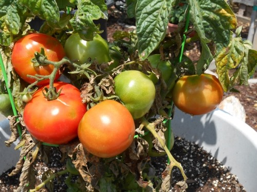 Tomatoes from our garden | Life With Lorelai