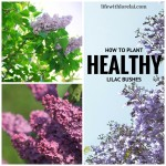 Lilac Bushes – How To Plant Healthy Shrubs
