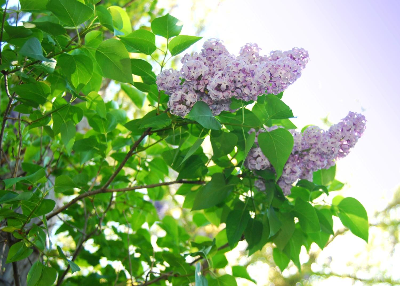 white purple lilac bush
