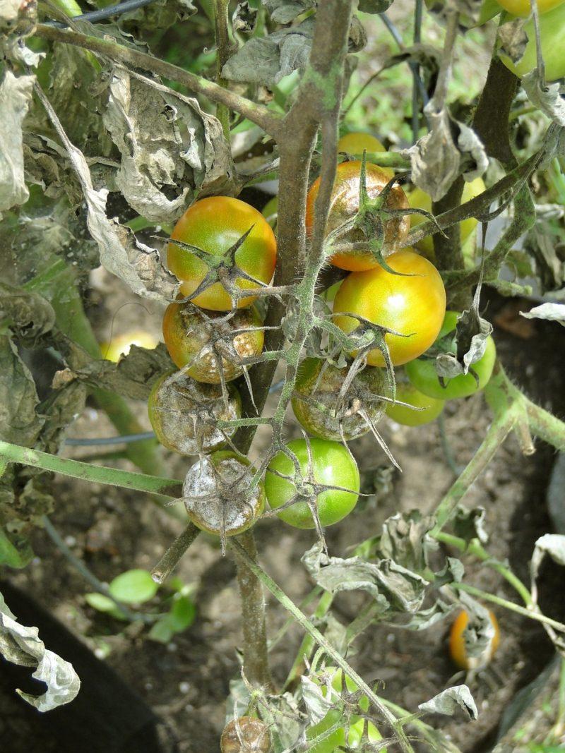 tomato-blight