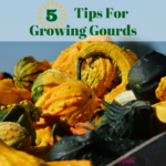 5 Tips To Growing Gourds In Your Garden