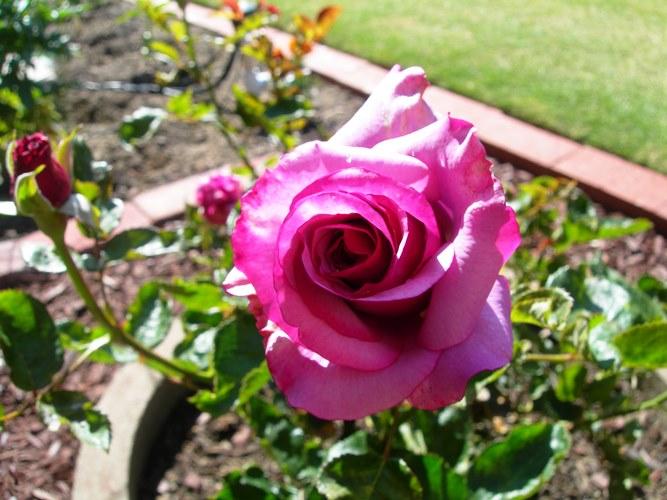 Neptune Rose Bush