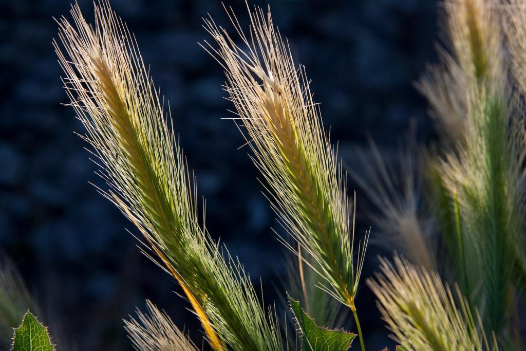 Wheat-Going-Gluten-Free