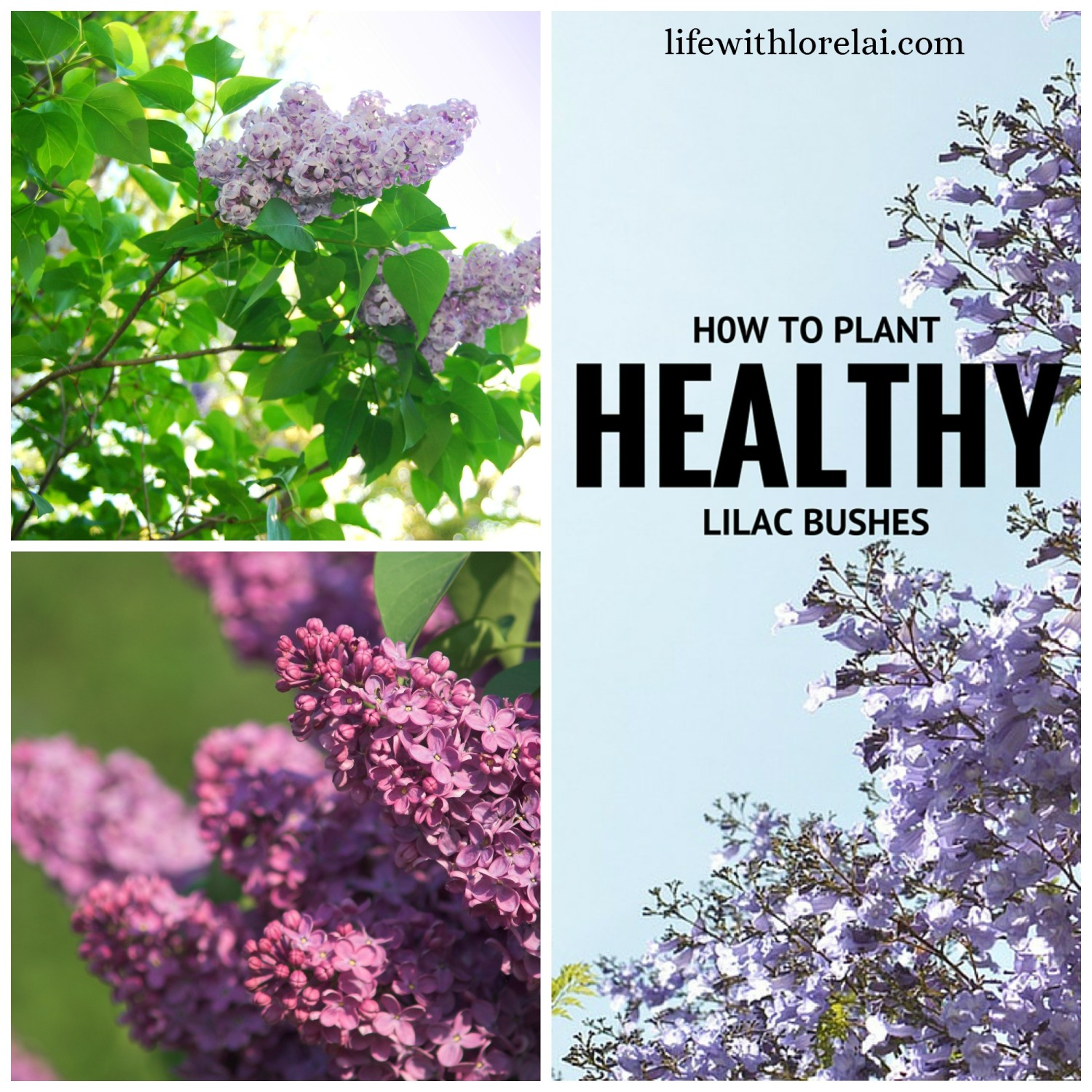 Learn how to grow healthy Lilac Bushes. Lilacs are a gorgeous and fragrant addition to any garden and are one of the most carefree shrubs for maintenance.