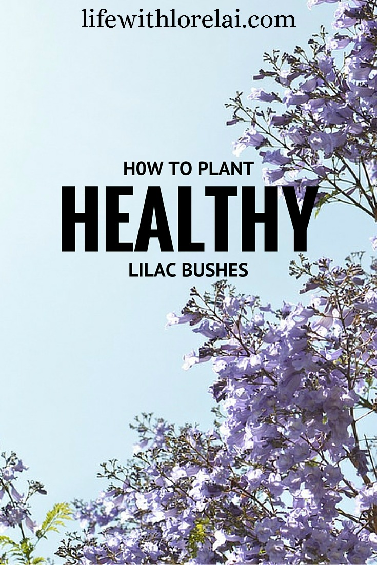 How to Plant Healthy Lilac Bushes - lifewithlorelai