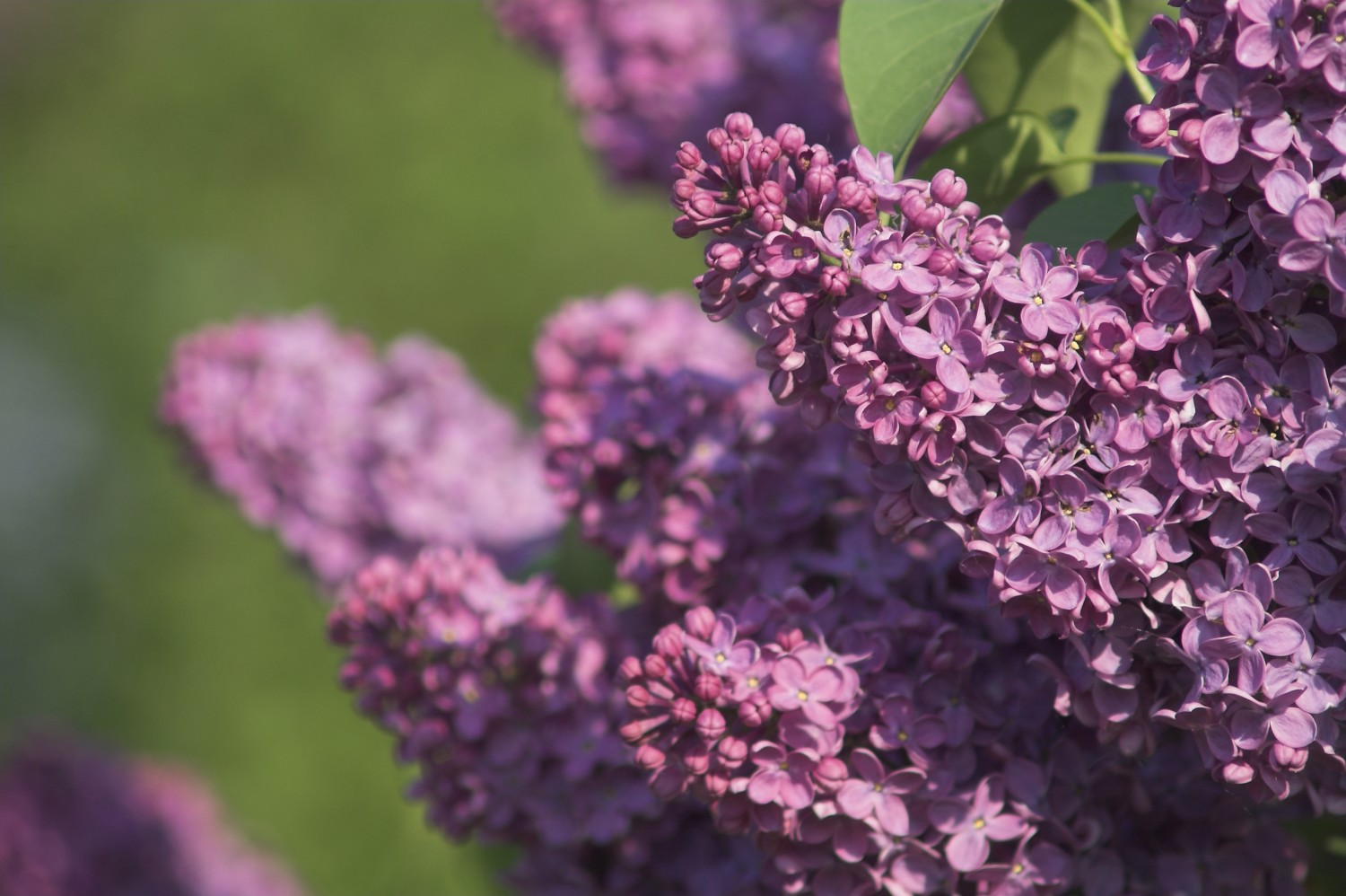 Lilac Bushes How To Plant Healthy Shrubs Life With Lorelai