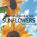 How To Grow Healthy Sunflowers