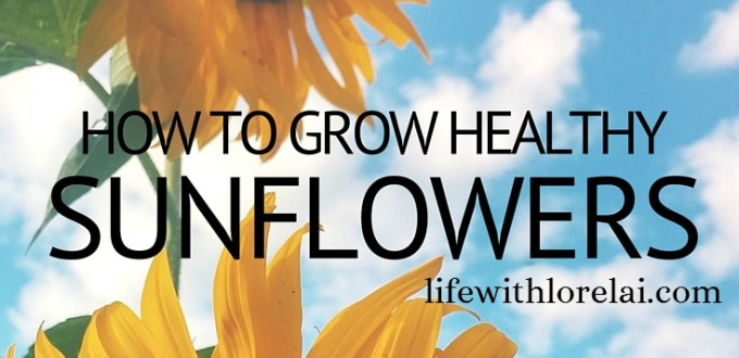Sunflowers – How To Grow These Healthy Giants