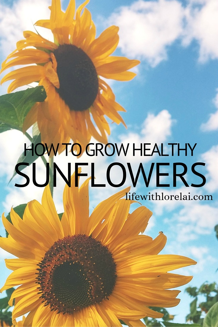 How To Grow Healthy Sunflowers - Life With Lorelai
