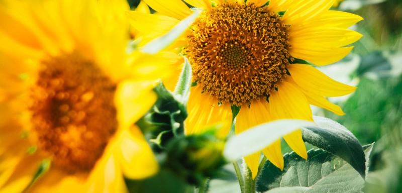 sunflowers-garden