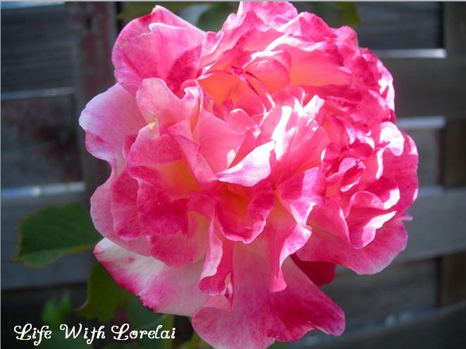 Pinky Rose - Rose Trellis