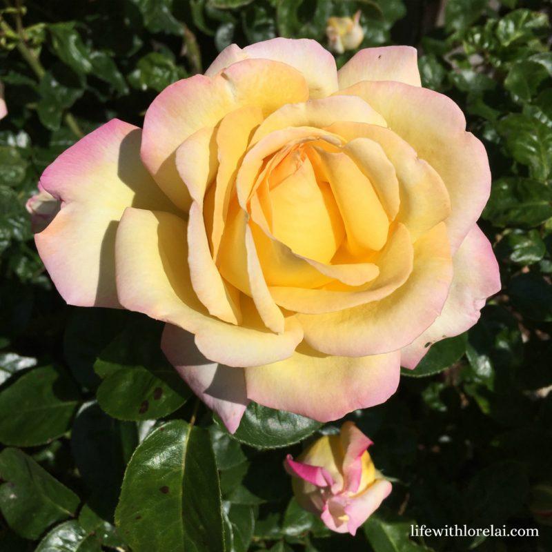 Peace - Life With Lorelai - Rose Trellis