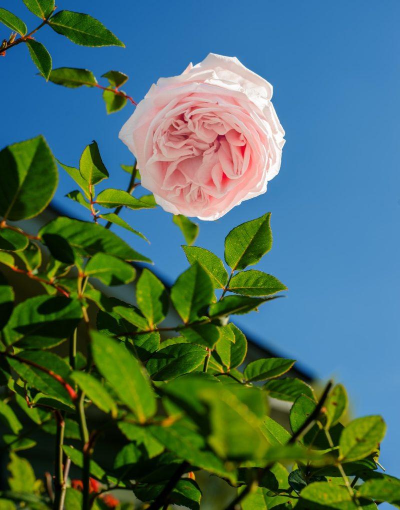 Pink Roses - Rose Trellis