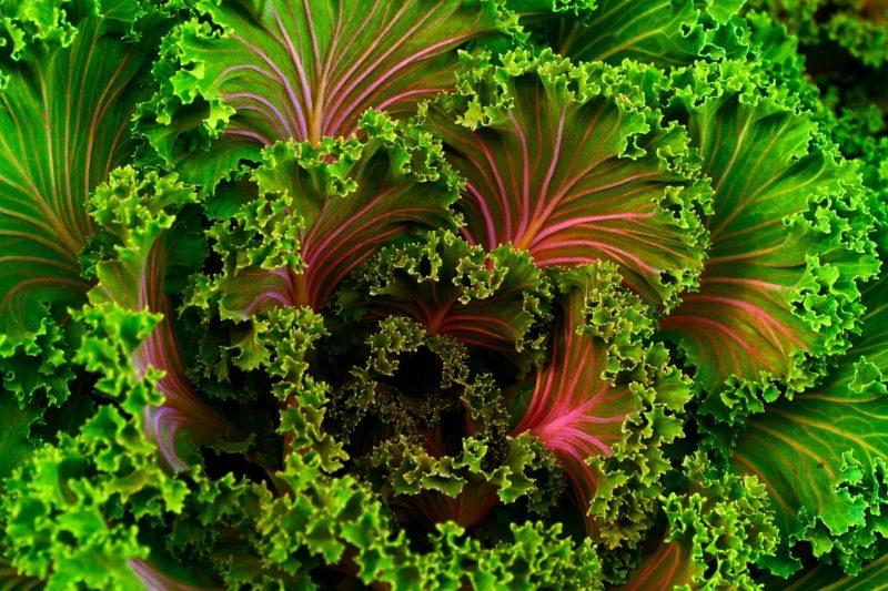 Kale-Aquaponic-Gardening