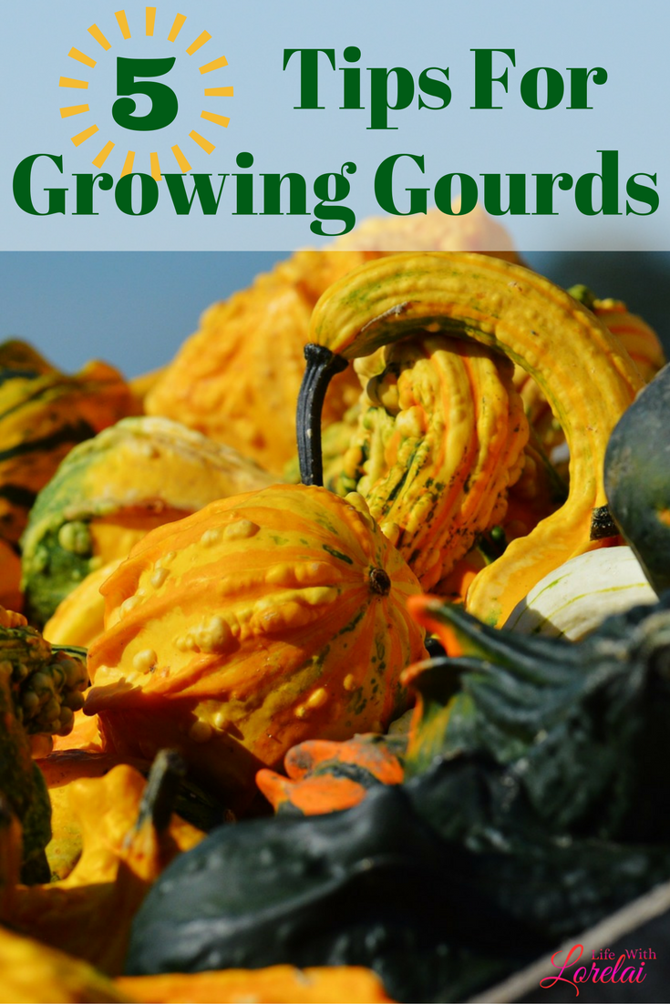 Celebrate fall by growing gourds in your garden. Get 5 great tips. Use gourds for autumn decor, recipes, crafts, and more. Bird lovers will love them.